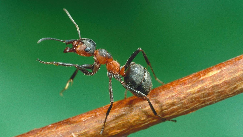 Exterminator Pest Control Ants Bug Free Service Tulsa Oklahoma Ant