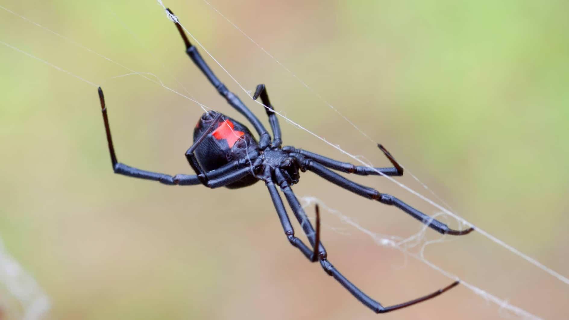 Exterminator Pest Control Spider Bug Free Service Tulsa Oklahoma Black Widow