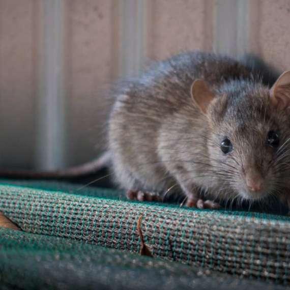 A Rat on a Cot