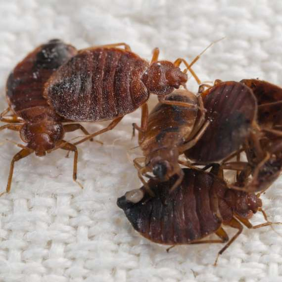A Pile of Bed Bugs
