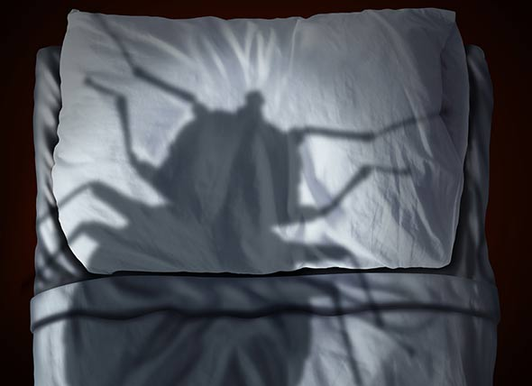 Bed Bug in Your Bed