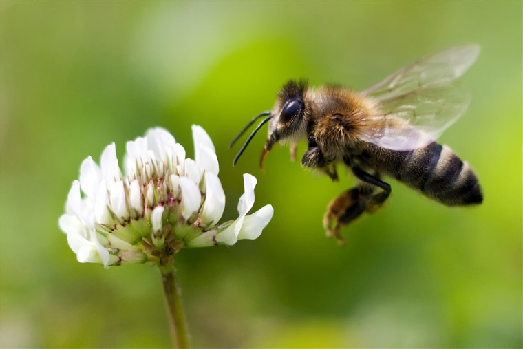 A Flying Honey Bee