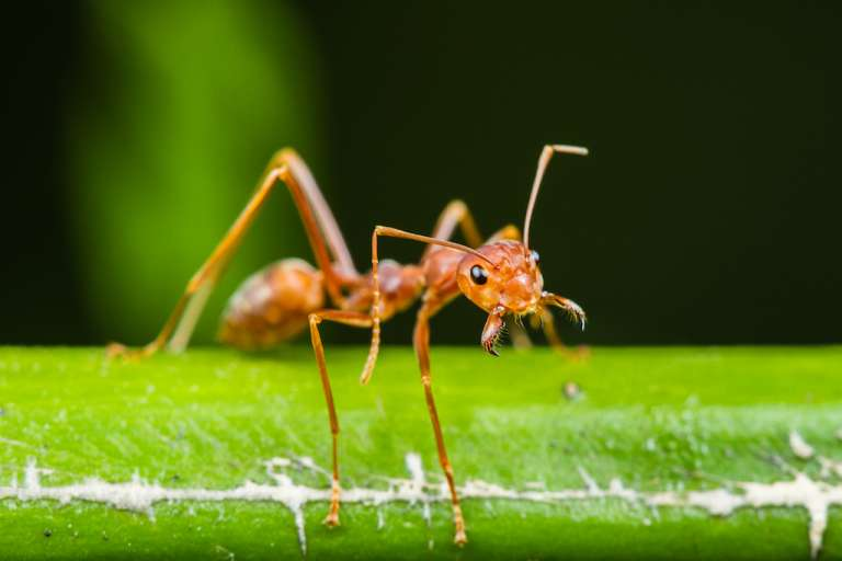 Jaws Open Ant