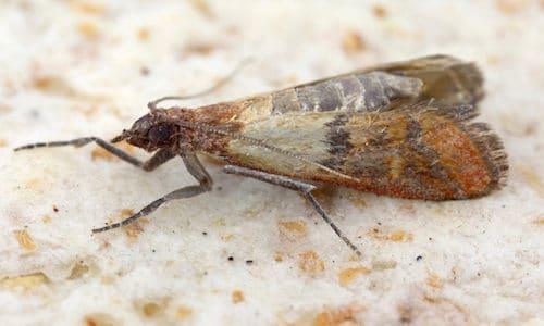 Exterminator Pest Control Indian Meal Moth Bug Free Service Tulsa Oklahoma Bed Bug Specialist