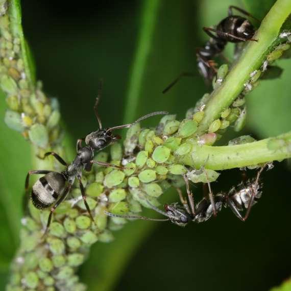 Ants Herding Aphids