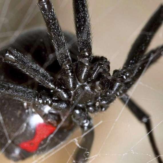 Exterminator Pest Control Bug Free Spider Service Tulsa Oklahoma Black Widow