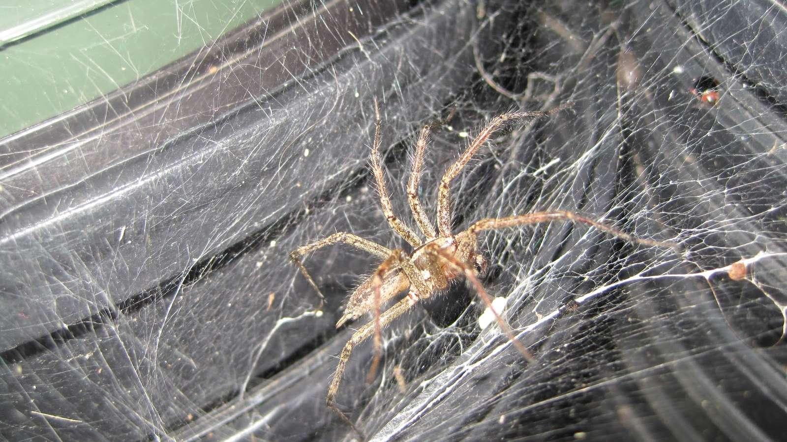Exterminator Pest Control Bug Free Spider Service Tulsa Oklahoma Brown Recluse