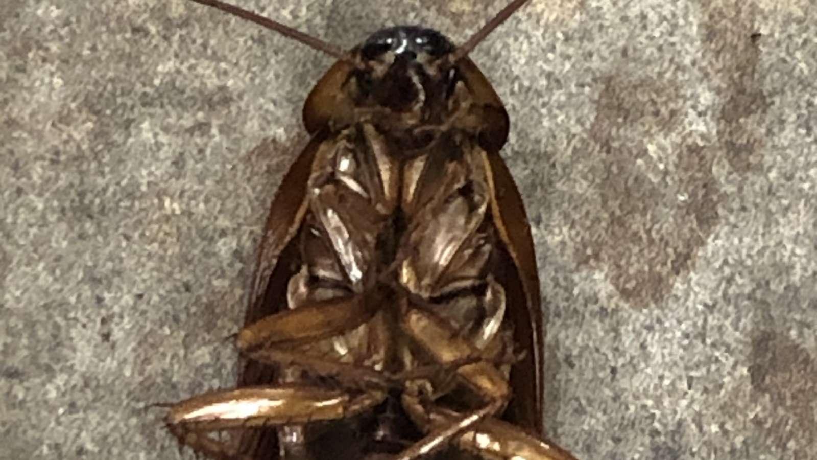 A Dead Cockroach