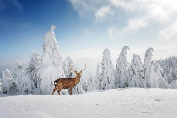 A Deer Deep in Winter