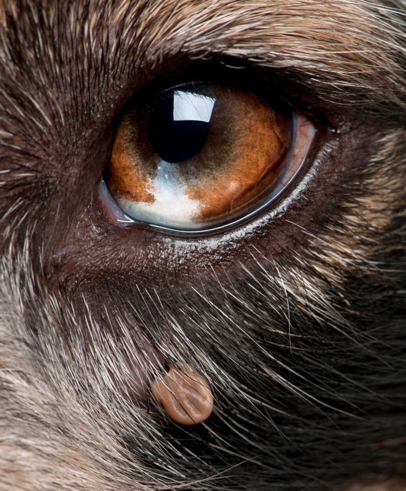 A Tick Under This Dog's Eye