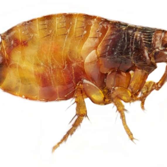 Exterminator Fleas Ticks Pest Control Bug Free Tulsa Oklahoma