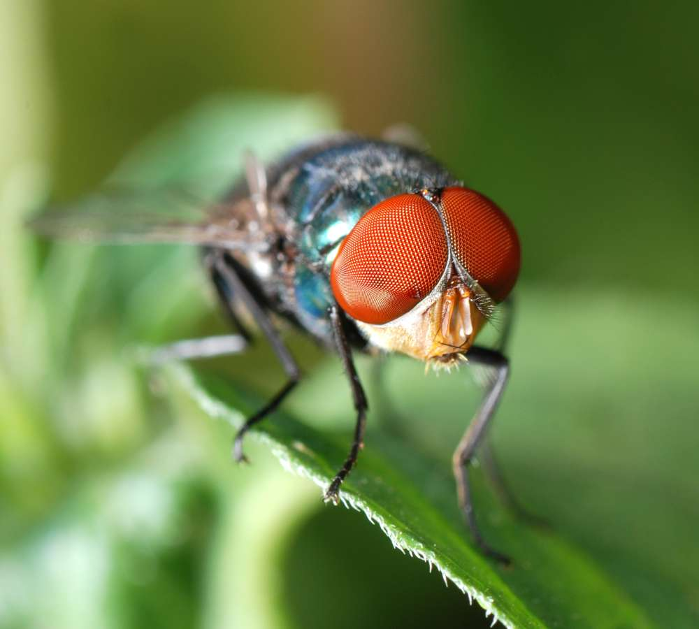 Exterminator Pest Control Bug Free Fly Service Tulsa Oklahoma flies
