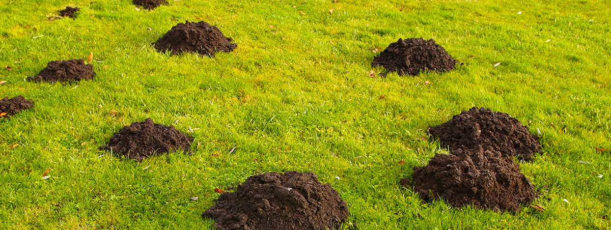 Mounds left by a Gopher