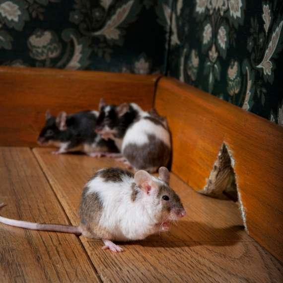 Mice in the corner