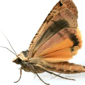 An Indian Meal Moth