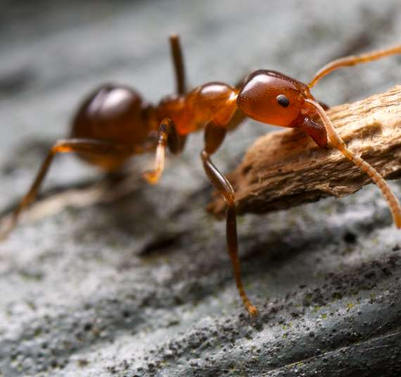 Exterminator Pest Control Ant Bug Free Service Tulsa Oklahoma Bed Bug Specialist Ants