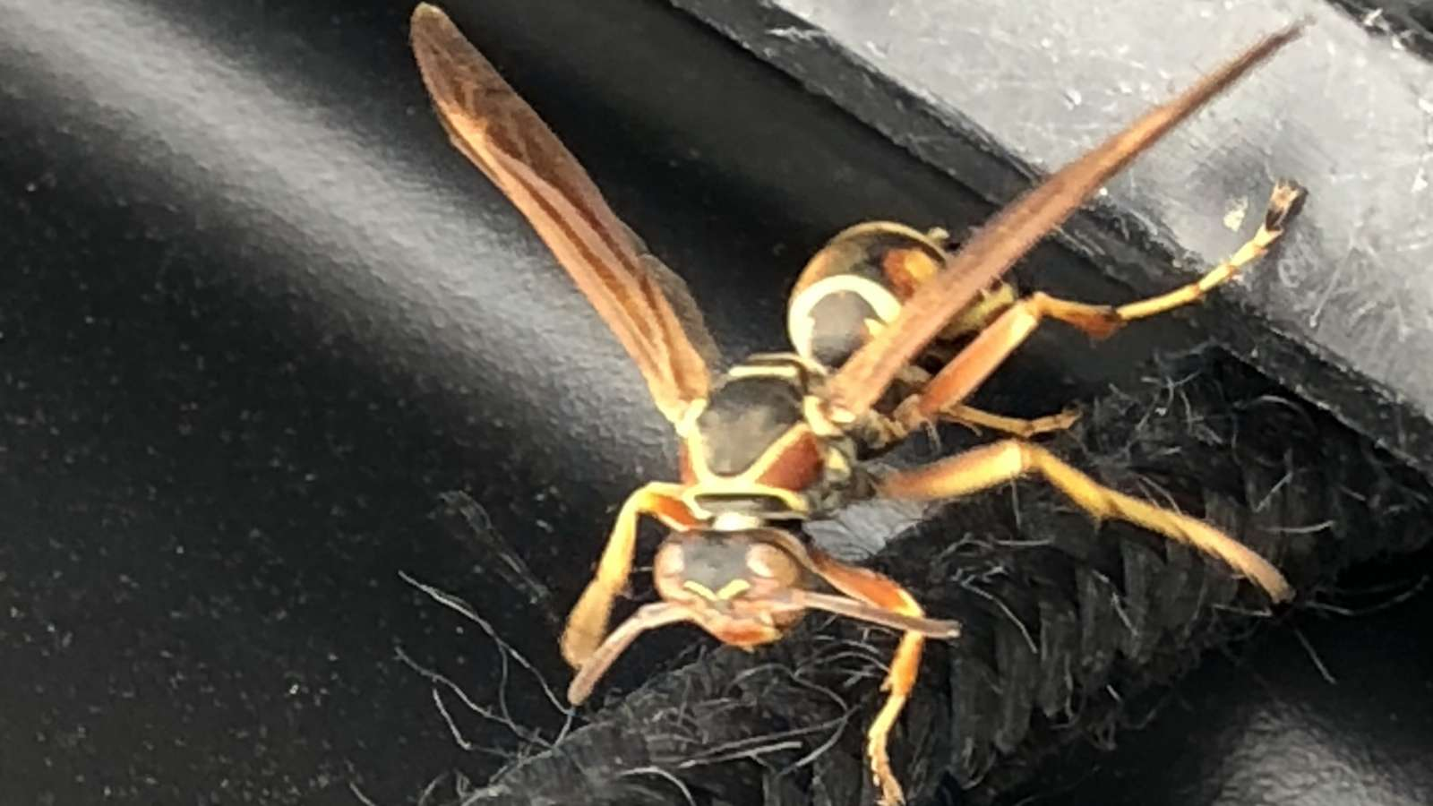 A Wasp on a Cord