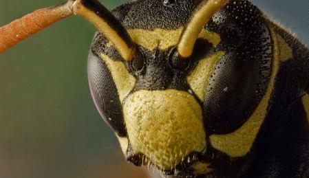 The Face of a Wasp