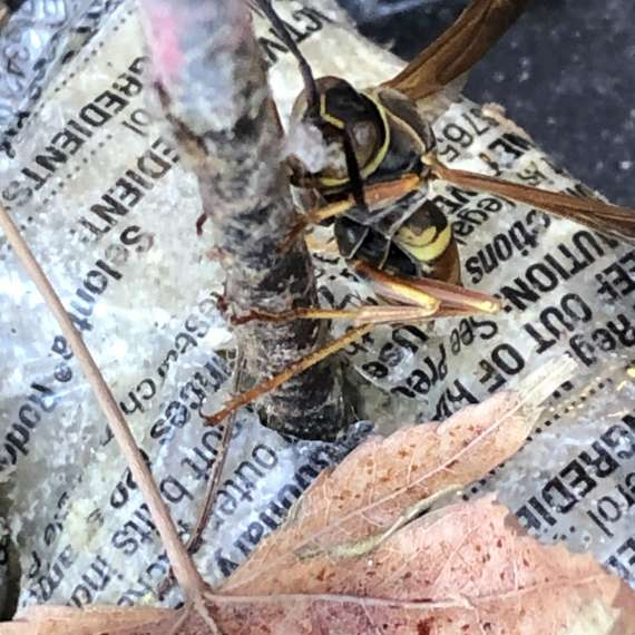 Exterminator Pest Control Bug Free Wasp Service Tulsa Oklahoma Paper Wasp