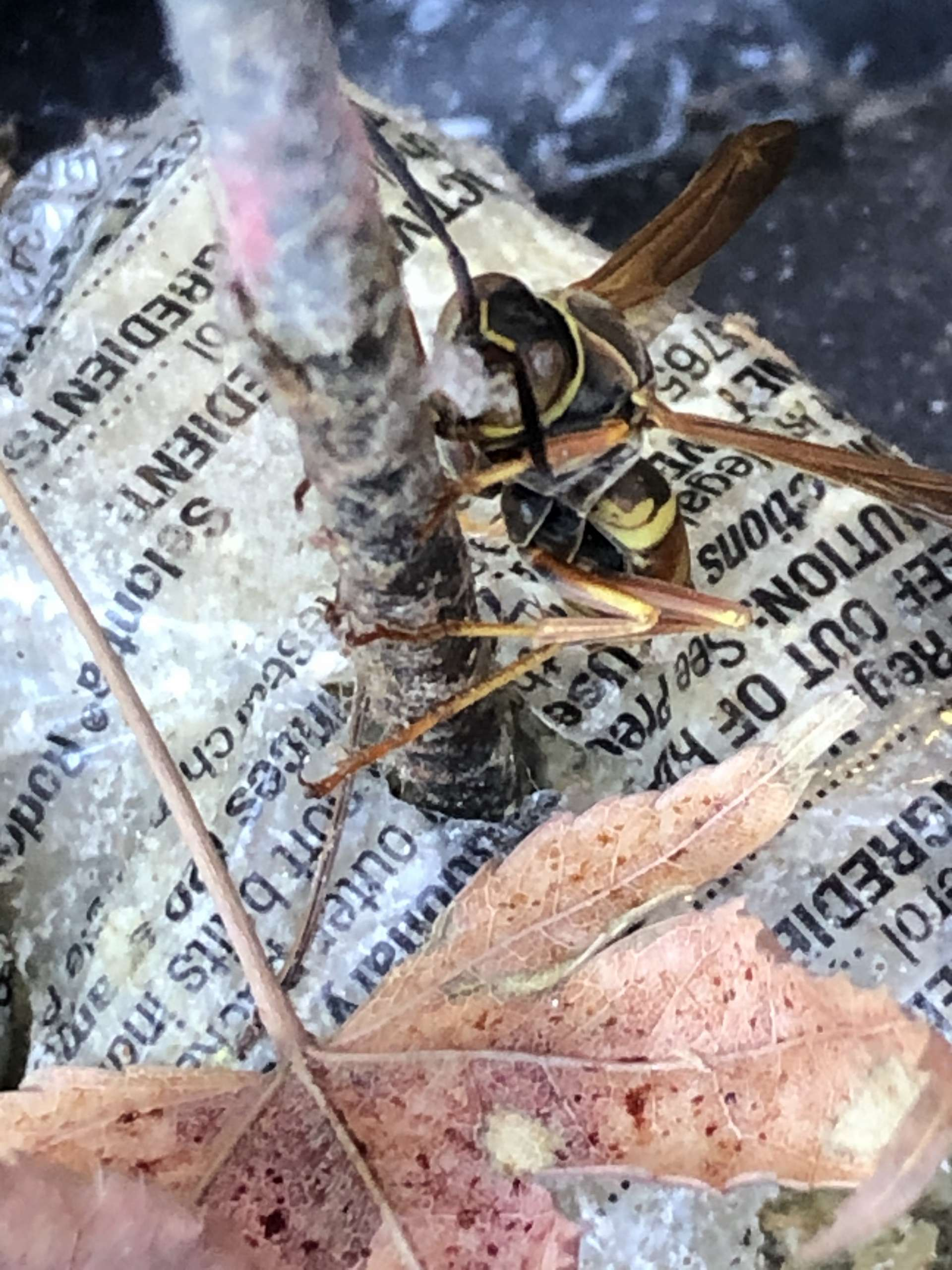 Wasp on a Stick