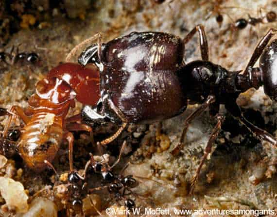 Ants and Termites Battle Royal!