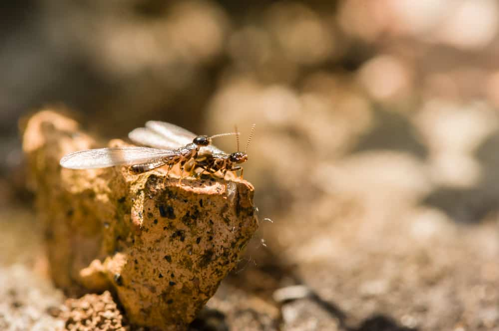 Termite Alates
