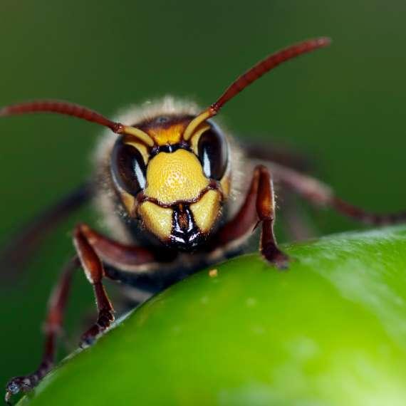 Exterminator Pest Control Bug Free Wasp Service Tulsa Oklahoma Paper Wasp
