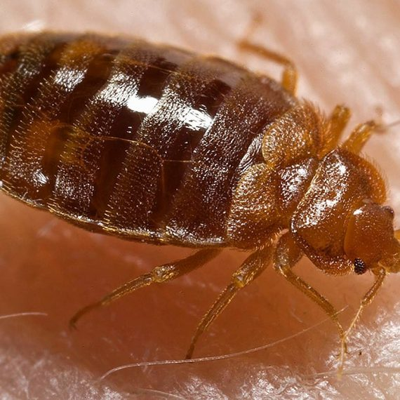 These bed bugs bite