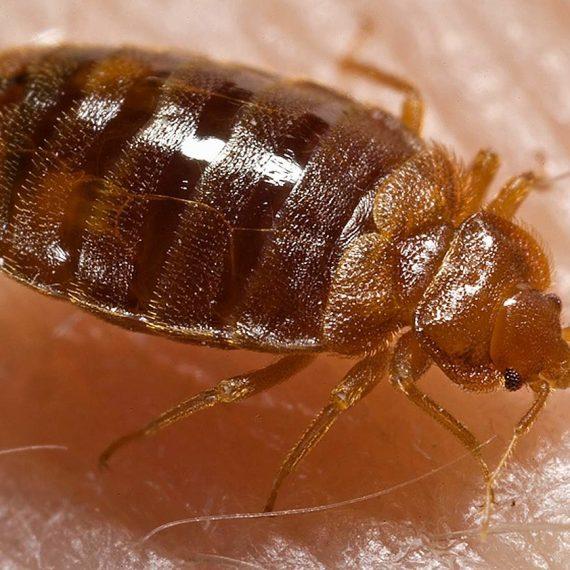 Bed Bug Specialists Exterminator Bug Free Pest Control Tulsa Oklahoma