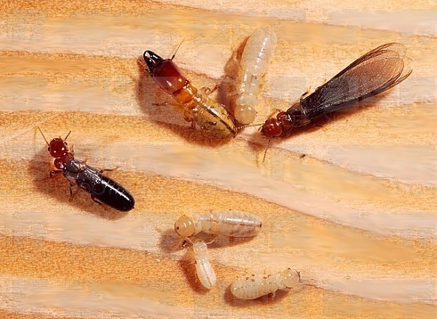 Different Life Stages of the Drywood Termite