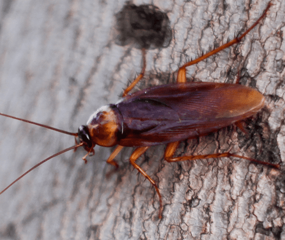 An Outdoor Cockroach