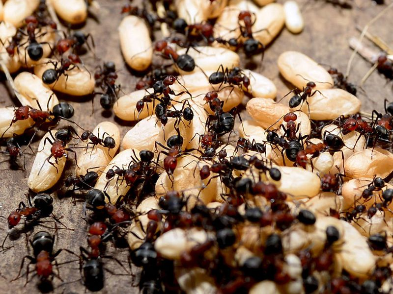Ants Foraging