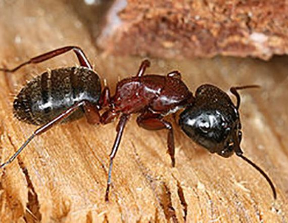 Carpenter Ant chewing wood