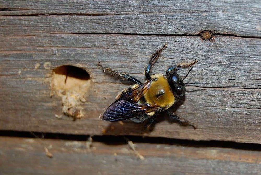 Carpenter Bee Makes a Home