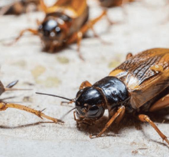Exterminator Pest Control Bug Free Cricket Tulsa Oklahoma