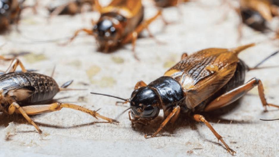 Nasty Crickets