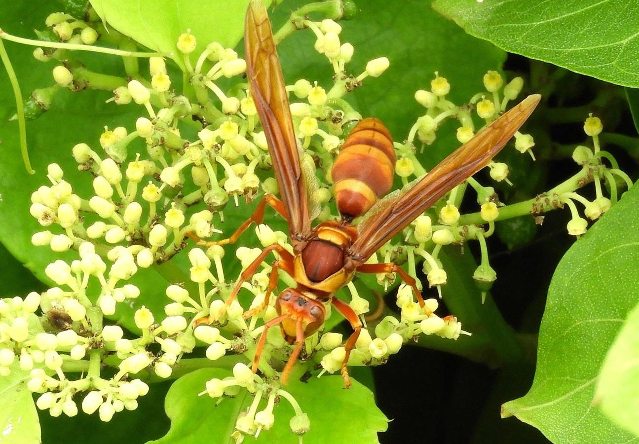 An Executioner Wasp