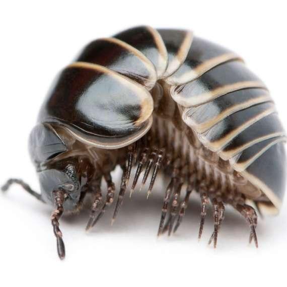 Exterminator Pest Control Bug Free Pill Bug Tulsa Oklahoma