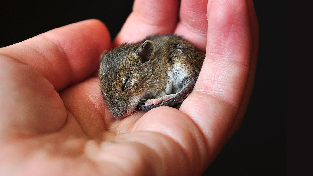 A mouse in the hand