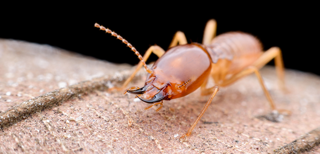 One Mean Soldier Ant