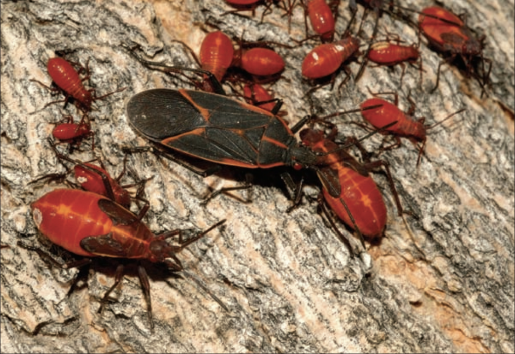 An Army of Boxelder Bugs