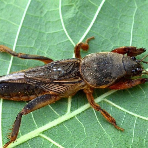 Dealing with Mole Crickets