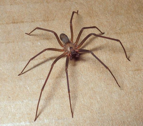 The Dreaded Brown Recluse