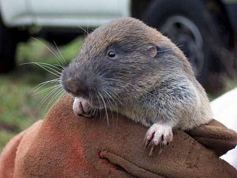 A Gopher, caught in the act!