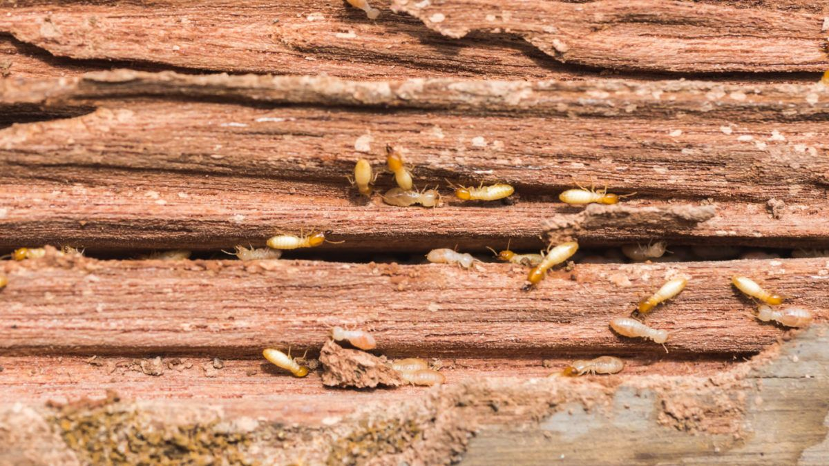 Hungry Termites getting a snack