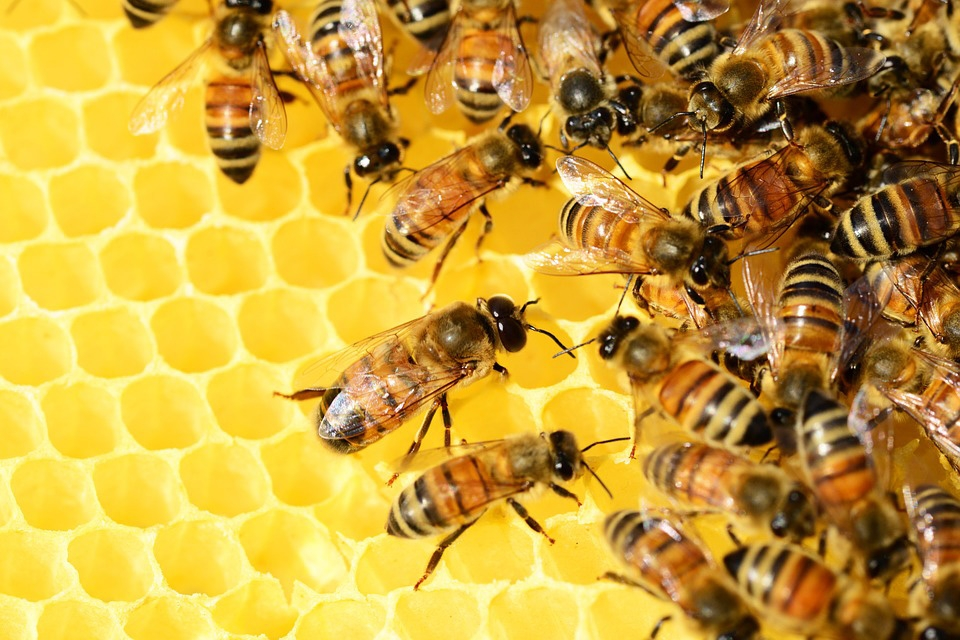 Worker Bees tending the Hive