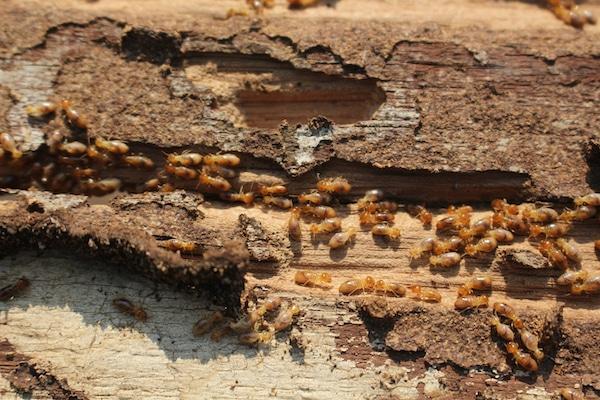 Worker Termites