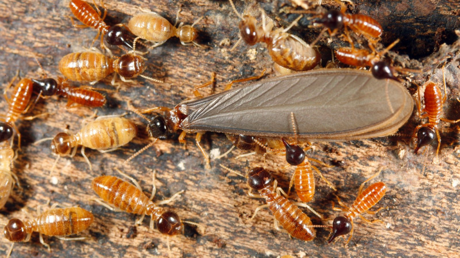 Termites and an Alate