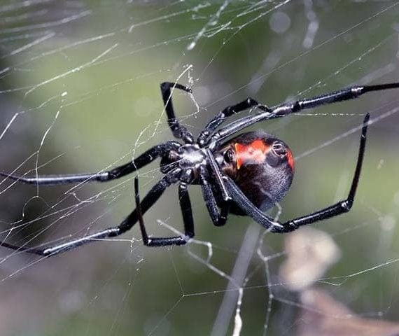 A Black Widow showing its mark