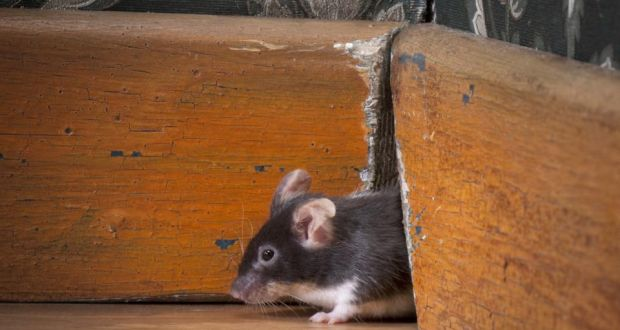 Eliminate pesky mice by calling TermMax Pest Control